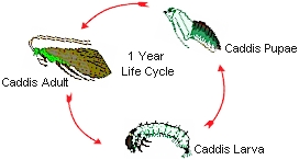 The Life Cycle Of The Caddis